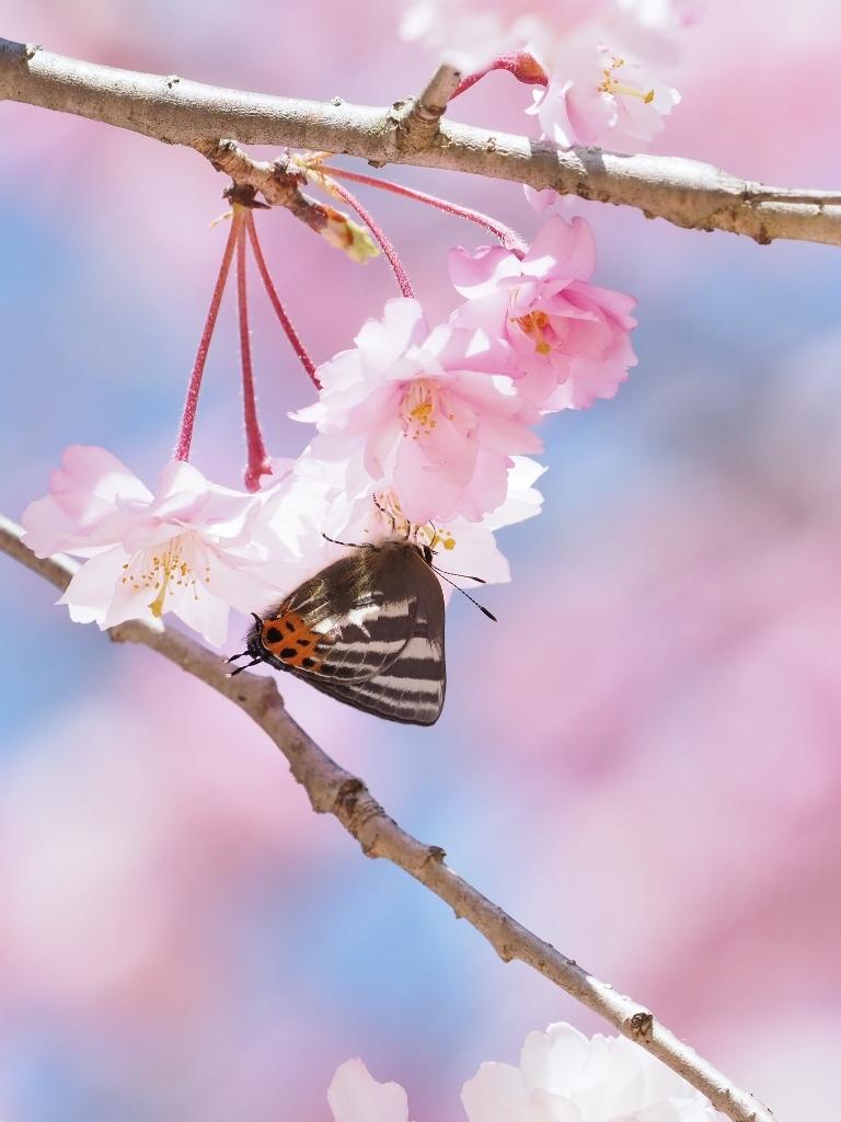 桜に集まるヒメギフチョウほか_e0224357_21471627.jpg
