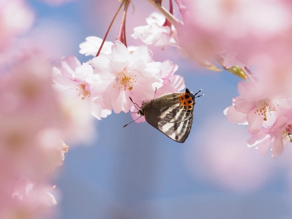 桜に集まるヒメギフチョウほか_e0224357_21475981.jpg