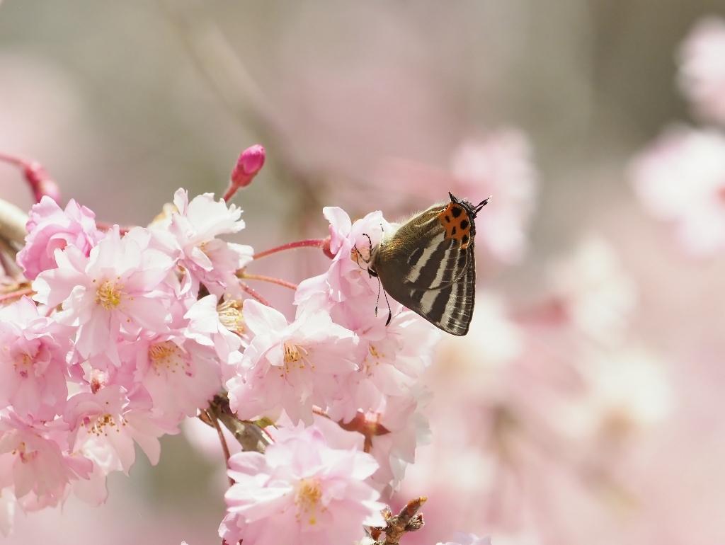 桜に集まるヒメギフチョウほか_e0224357_21482607.jpg