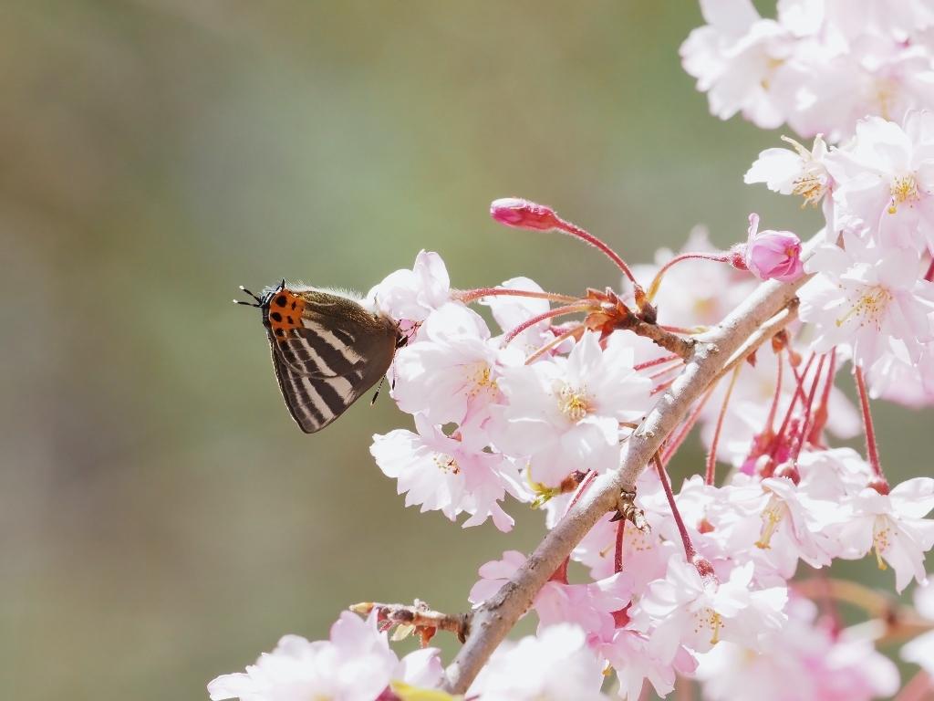 桜に集まるヒメギフチョウほか_e0224357_21485668.jpg