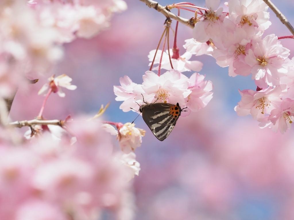 桜に集まるヒメギフチョウほか_e0224357_21491284.jpg