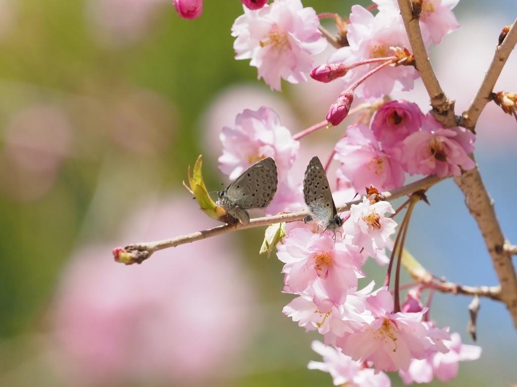 桜に集まるヒメギフチョウほか_e0224357_21511817.jpg