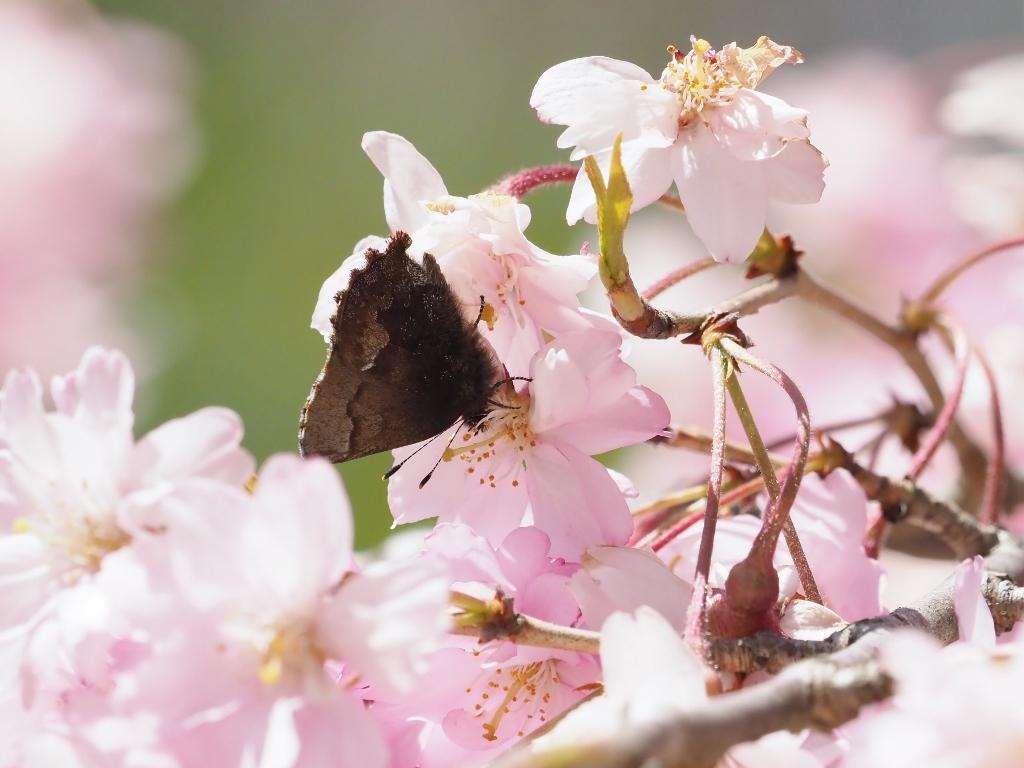 桜に集まるヒメギフチョウほか_e0224357_21520043.jpg