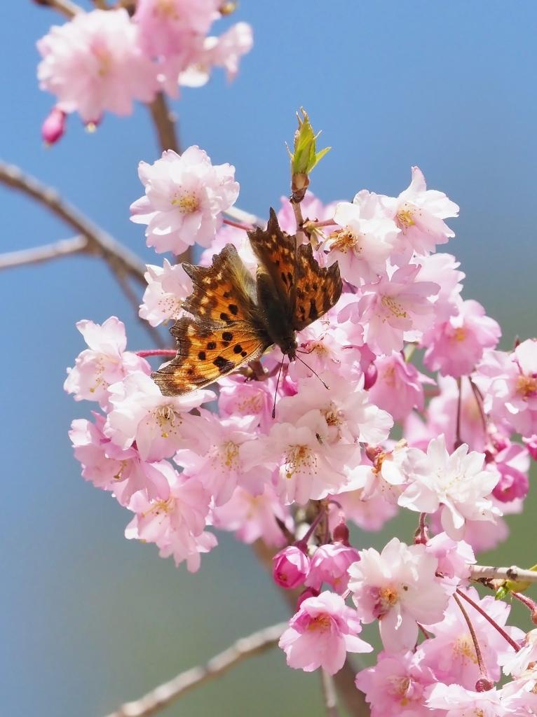 桜に集まるヒメギフチョウほか_e0224357_21523734.jpg