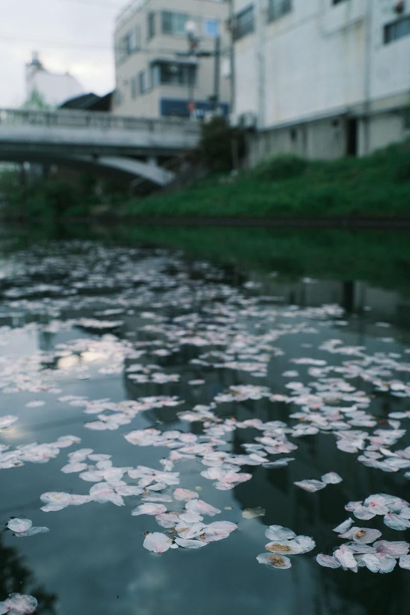 京都 桜 2021_f0021869_22260706.jpg