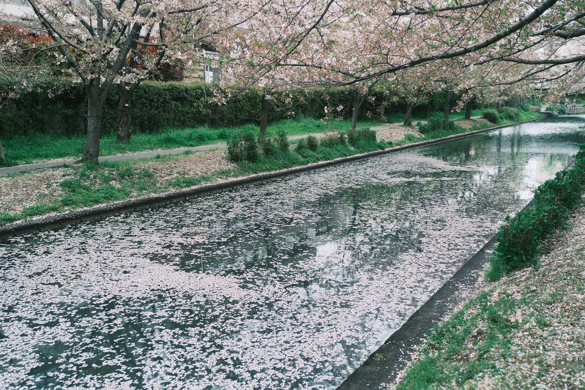 京都 桜 2021_f0021869_23592170.jpg