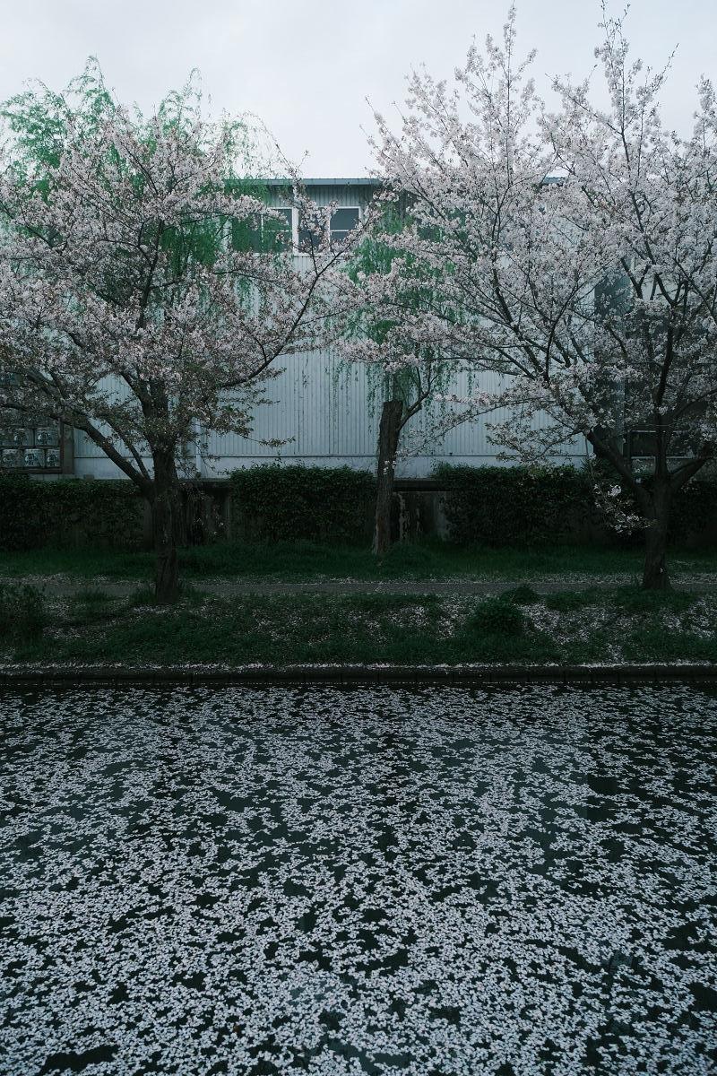 京都 桜 2021_f0021869_23594530.jpg