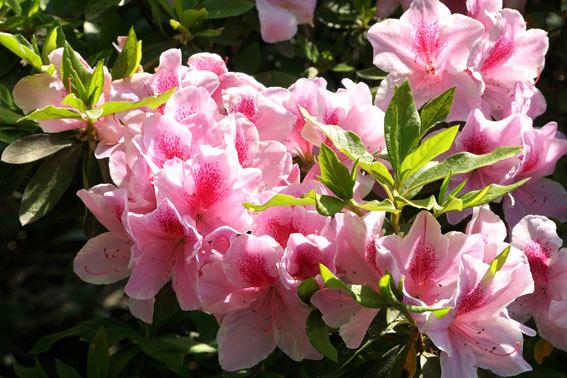ひしめきあって咲くツツジ_b0145296_16332281.jpg