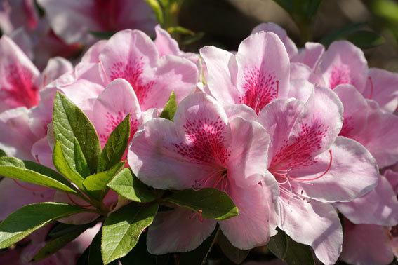 ひしめきあって咲くツツジ_b0145296_16332636.jpg
