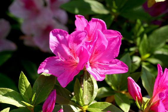 ひしめきあって咲くツツジ_b0145296_16333301.jpg