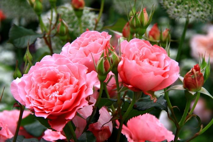 四季の香りローズガーデン_b0325217_10381961.jpg
