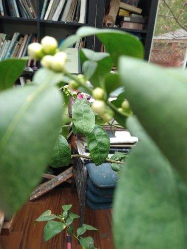 柚子、すだち、だいだいの花芽と昨日の晩御飯_a0173527_04205543.jpg