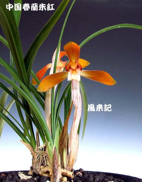 中国春蘭・朱紅花          No.2094_d0103457_16583389.jpg