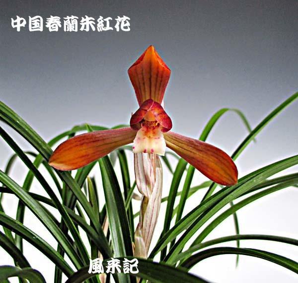 中国春蘭・朱紅花          No.2094_d0103457_16584662.jpg