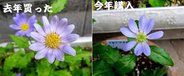 中国春蘭・朱紅花          No.2094_d0103457_17000889.jpg