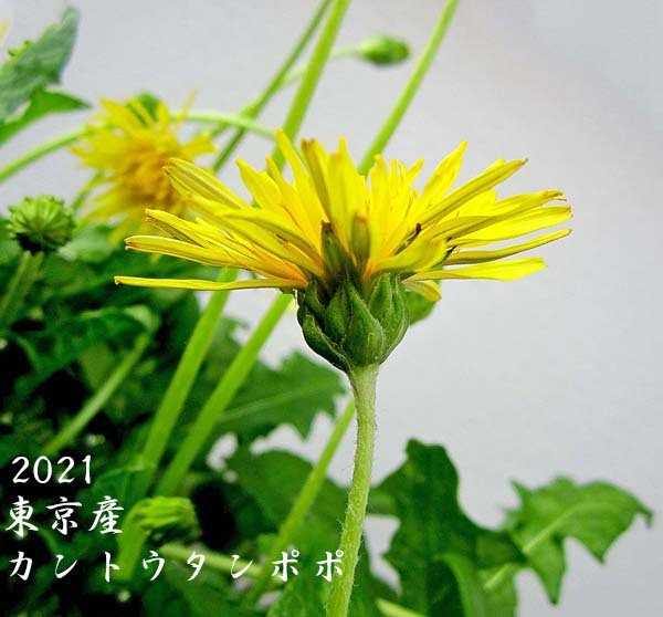 中国春蘭・朱紅花          No.2094_d0103457_17001515.jpg