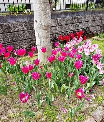 咲き終わったチューリップの再利用法♪_b0194861_10500135.jpg