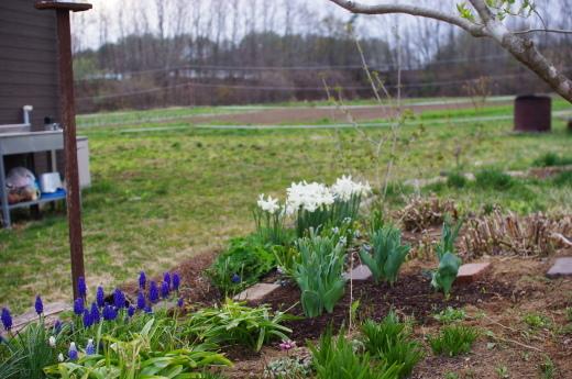 ムスカリとスイセンが咲きそろった。_c0110869_12475511.jpg