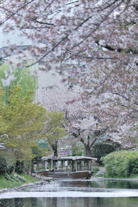 京都 桜 2021_f0021869_22494320.jpg