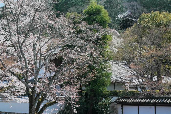 京都 桜 2021_f0021869_23065917.jpg