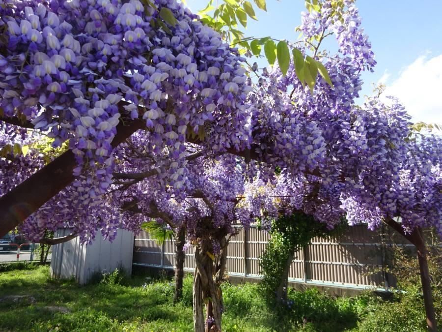 R3.4月の13小芝生とフジ_f0059673_21365450.jpg