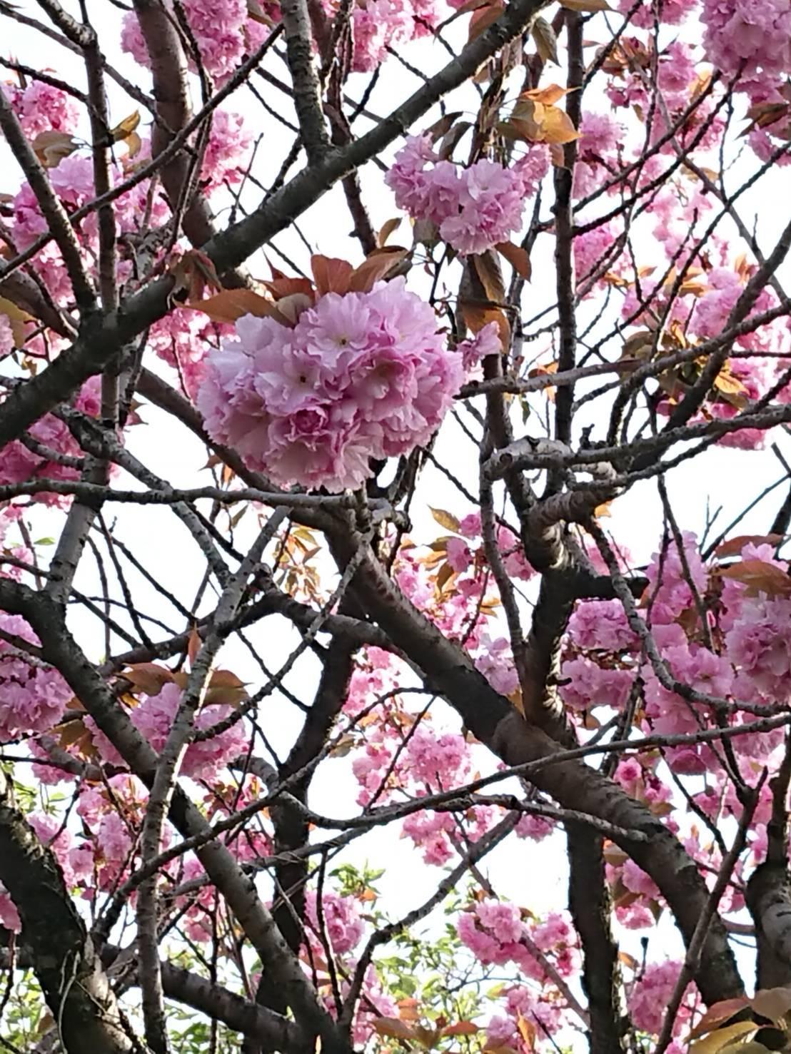 交流センター八重桜さきました_d0235898_22093336.jpg