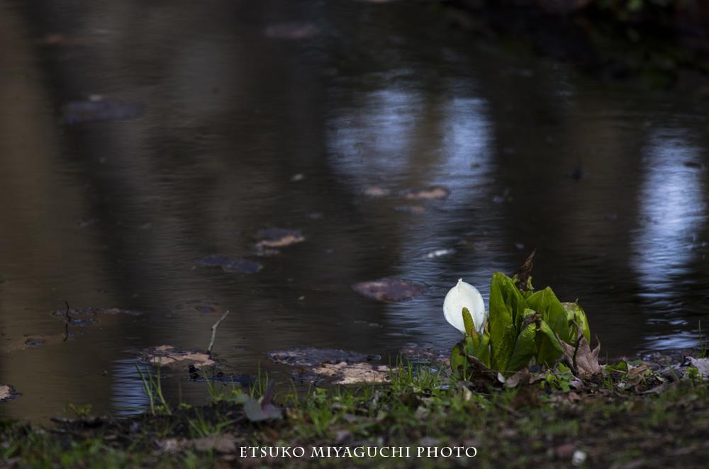 池のほとりに水芭蕉_f0152939_12140585.jpg
