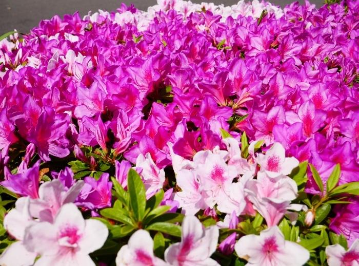 和歌山市は市の花ツツジが美しいです  2021-04-28 00:00_b0093754_23062103.jpg