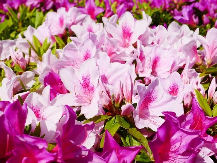 和歌山市は市の花ツツジが美しいです  2021-04-28 00:00_b0093754_23064021.jpg