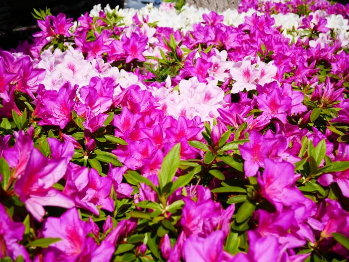 和歌山市は市の花ツツジが美しいです  2021-04-28 00:00_b0093754_23065439.jpg