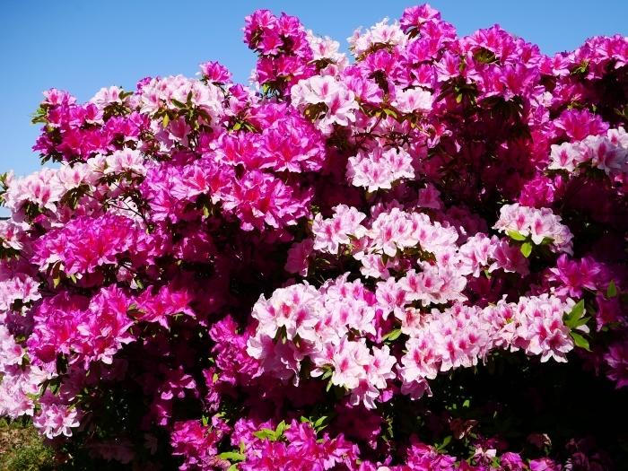 和歌山市は市の花ツツジが美しいです  2021-04-28 00:00_b0093754_23070634.jpg