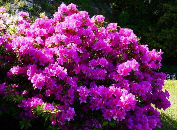 和歌山市は市の花ツツジが美しいです  2021-04-28 00:00_b0093754_23071957.jpg