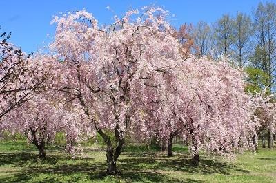 弘前城植物園の桜_2021.04.26撮影_d0131668_15413754.jpg