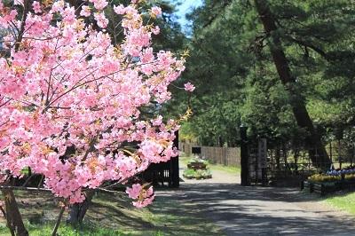 弘前城植物園の桜_2021.04.26撮影_d0131668_15431372.jpg