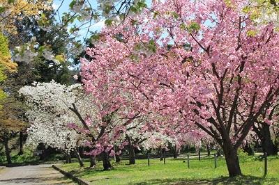 弘前城植物園の桜_2021.04.26撮影_d0131668_15441513.jpg