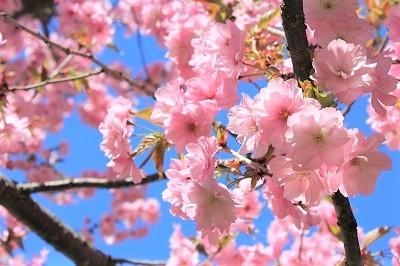弘前城植物園の桜_2021.04.26撮影_d0131668_15444653.jpg