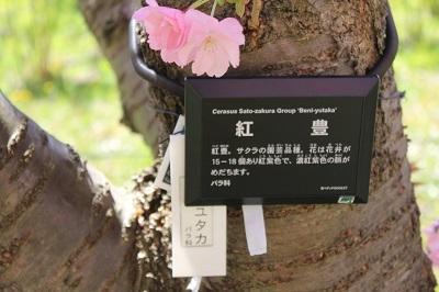 弘前城植物園の桜_2021.04.26撮影_d0131668_15451310.jpg