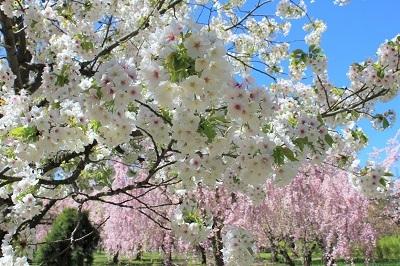 弘前城植物園の桜_2021.04.26撮影_d0131668_15454793.jpg
