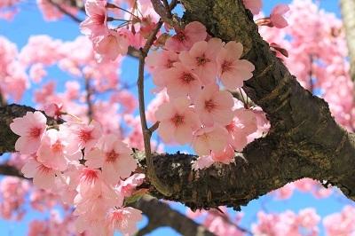 弘前城植物園の桜_2021.04.26撮影_d0131668_15461352.jpg