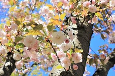 弘前城植物園の桜_2021.04.26撮影_d0131668_15481475.jpg