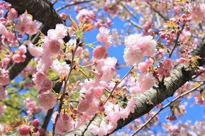 弘前城植物園の桜_2021.04.26撮影_d0131668_15484034.jpg