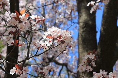 弘前城植物園の桜_2021.04.26撮影_d0131668_15492188.jpg