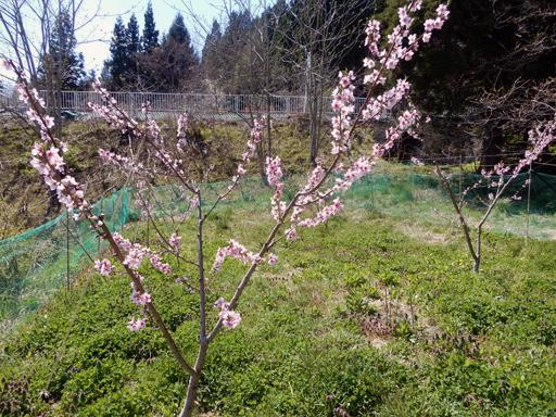 桃とスモモの花_d0366590_10543610.jpg