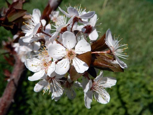 桃とスモモの花_d0366590_10592508.jpg