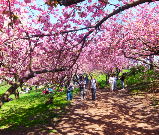 咲き始めました、セントラルパークの桜のトンネル_b0007805_04465557.jpg