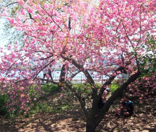 咲き始めました、セントラルパークの桜のトンネル_b0007805_04472177.jpg