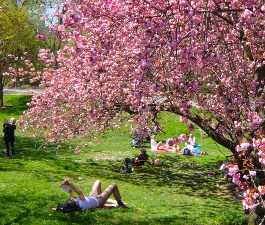 咲き始めました、セントラルパークの桜のトンネル_b0007805_04474057.jpg