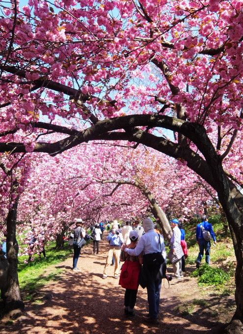 咲き始めました、セントラルパークの桜のトンネル_b0007805_04475523.jpg