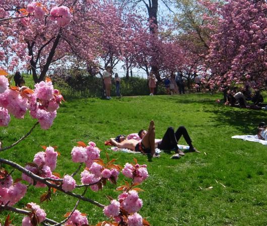 咲き始めました、セントラルパークの桜のトンネル_b0007805_04481388.jpg