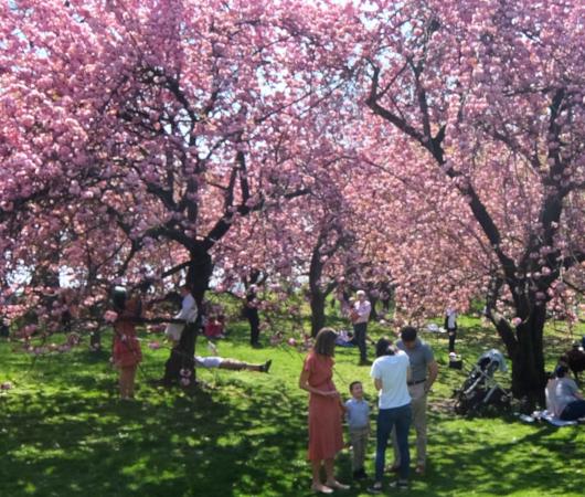 咲き始めました、セントラルパークの桜のトンネル_b0007805_04482671.jpg